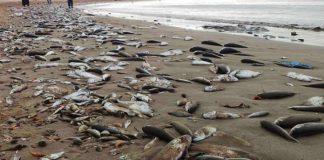 De grandes quantités de poissons échoués sur les plages de Gabès