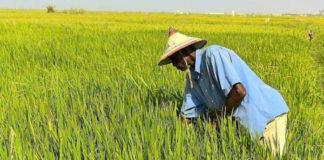 riziculture afrique